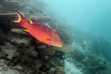 Seebarsch - Malediven - Bass - Maldives