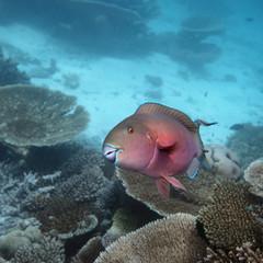 Papageifisch - Malediven - Parrotfish - Maldives