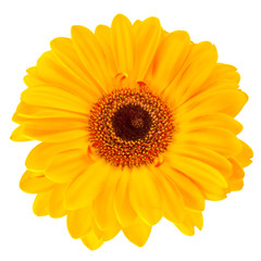 Close-up yellow daisy flower isolated on white