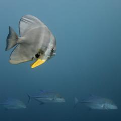 Fledermausfisch und Thunfische - Malediven - Maldives