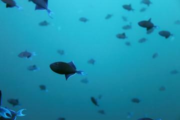 Drückerfische - Malediven - Triggerfishes - Maldives