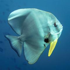 Fledermausfisch - Malediven - Maldives