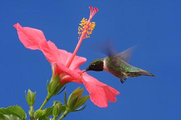 Wall Mural - Ruby-throated Hummingbird