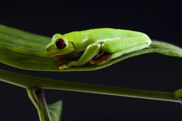 Red eyed leaf frog