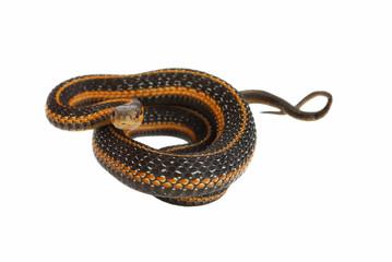 garter snake rolling.