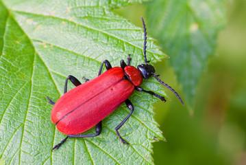 Cardinal Beetle (Pyrochroa coccinea)