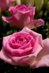 Pink roses in closeup