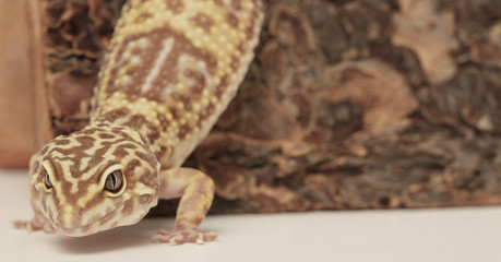 Leopard gecko on the prowl