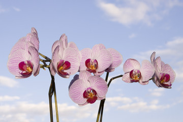 Orchidea davanti al cielo azzurro con nuvole