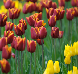 Papiers peints Tulip red tulips, very shallow focus