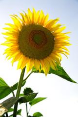 Beautiful sunflower growing in the field