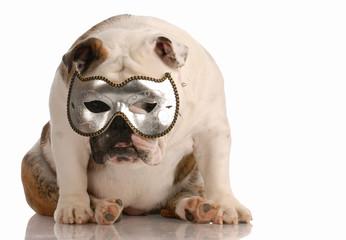 depressed english bulldog hiding behind a mask
