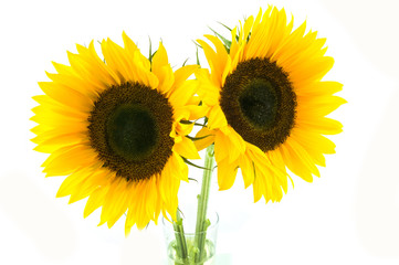 Two sunflowers in vase isolated on white background