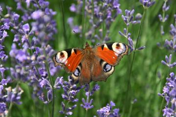Schmetterling Lavendel