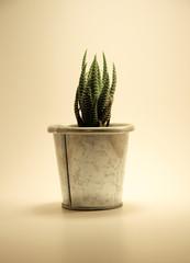 pianta grassa 1