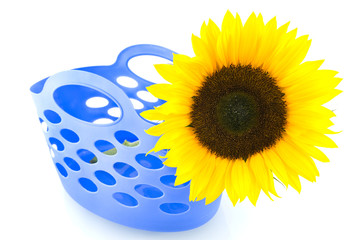 Yellow sunflower in blue shopping bag on white background