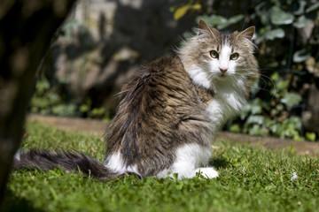 chat des forêts norvégiennes assis dans l'herbe retourné