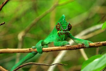 Fotobehang Kameleon Les yeux dans les yeux