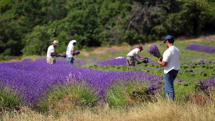 Spoed Fotobehang Lavendel travail de la lavande