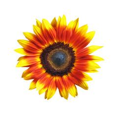 Vivid Sunflower