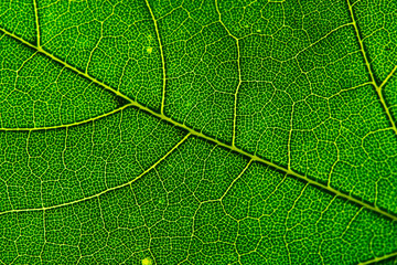 Leaf of the maple close-up