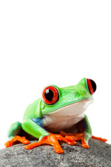 cute frog on a rock isolated white