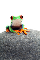frog sitting on rock isolated on white