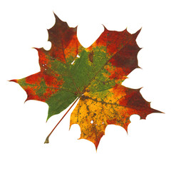Acer colorfull autumn leaf
