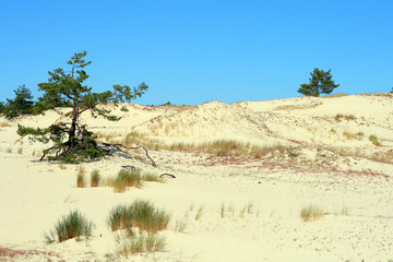 Sand dunes and trees at Leba - Poland