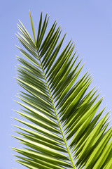 leaves of palm tree on a blue sky background