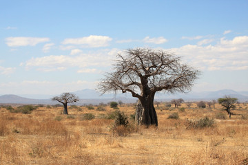 African landscape: thick baobab tree