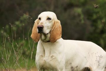 chien porcelaine de trois quart debout dans l'herbe - fier