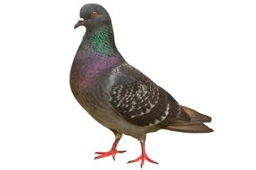 Pigeon Fototapete