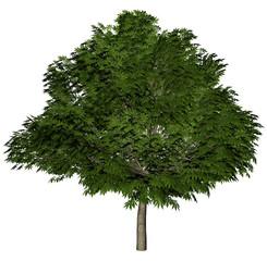 bigbaum