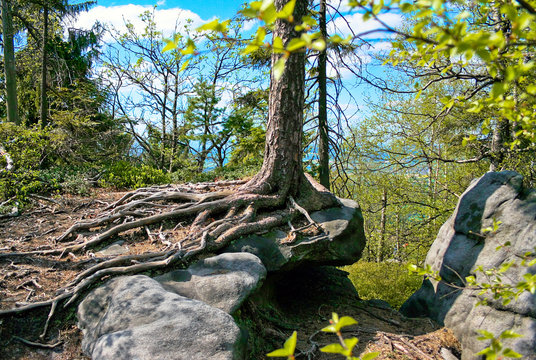 Spruce roots