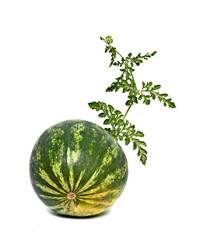 Watermelon with vine isolated on white background