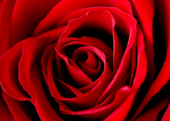 rose of love