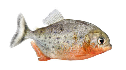 side view on a Piranha fish - Serrasalmus nattereri