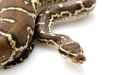 Angolan python