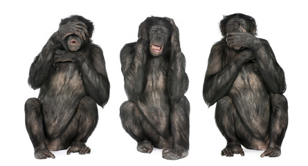 Photo sur Plexiglas Singe Three Wise Monkeys : Chimpanzee - Simia troglodytes (20 years ol