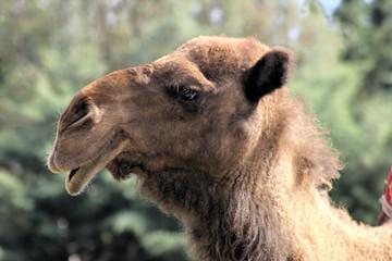 Camello en Sahara, Marruecos