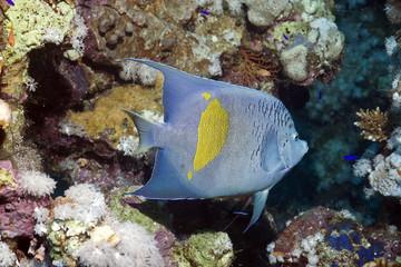 Poster Coral reefs yellowbar angelfish