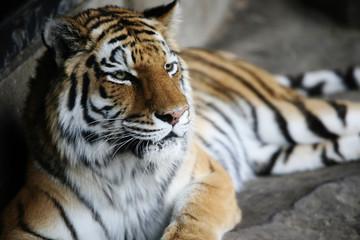Handsome tiger resting
