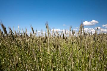 Fields of rye
