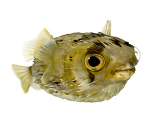 Long-spine porcupinefish also know as spiny balloonfish (fish) -