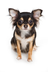 Chihuahua dog on white background