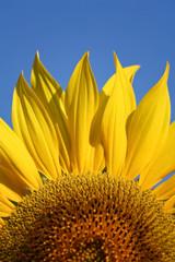 Sunflower petal details