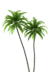 two palm trees isolated on white background with clipping path