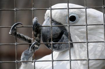 Kakadu hinter Gitter