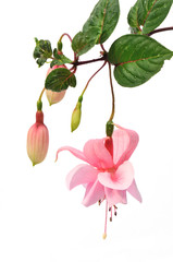 pink fuchsia flower isolated on white background